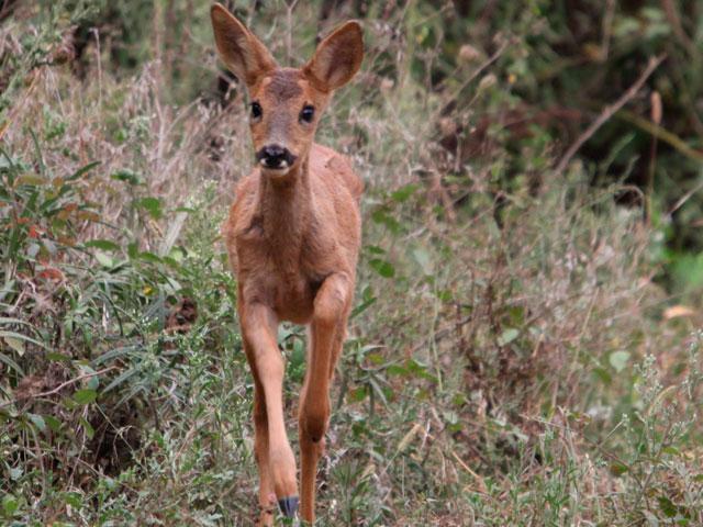 Chevreuil en forêt