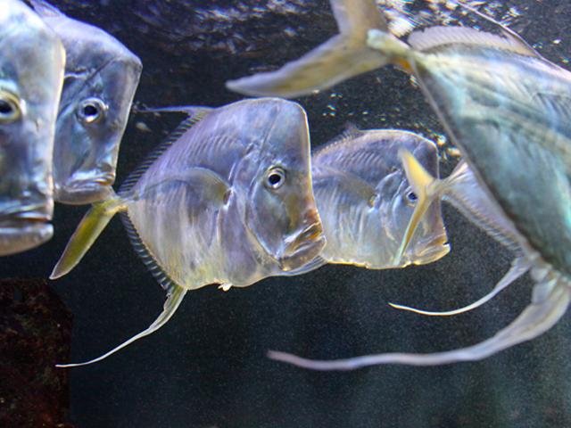 Banc de poissons II
