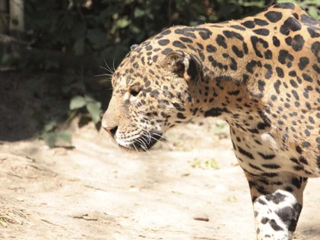 jaguar_bas