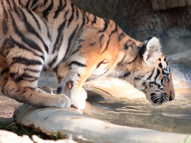 tigre_bas