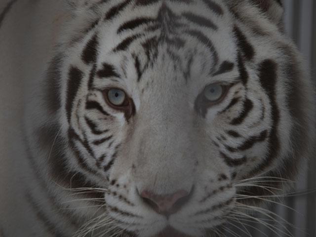 Tigre noir & blanc