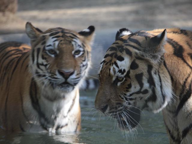 Tigres de Sibérie