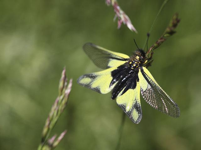 papillon_jaune_bas