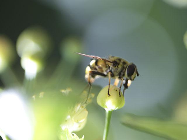 Abeille sur une fleur de tilleul