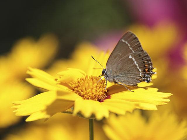 papillon_bas
